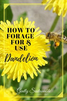 "Dandelion is one of the most valuable weeds in terms of nutritional and medicinal value! They're easy to find and use! Check out ""How to Forage For and Use Dandelion""!"