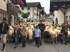 Innsbruck, Street View, Volunteers, Communities Unit, Sheep