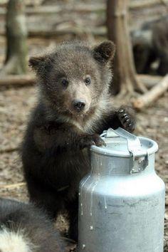 Two sweet baby bear pics) Bear Cubs, Panda Bear, Polar Bear, Bear Pictures, Cute Animal Pictures, Cute Baby Animals, Animals And Pets, Cute Bears, Baby Bears
