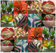 Kalanchoe Species Mix  Rare SUCCULENT Fresh by ALLooABOUTooSEEDS, $3.00