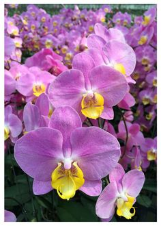 How to Care for Orchids So They Live & Grow Them Correctly So They Bloom: Learn How You Can Care for Your Orchids Quickly & Easily The Right Way Before You Kill Them Slowly & Painfully The Wrong Way Rare Flowers, Exotic Flowers, Amazing Flowers, Beautiful Flowers, Orchids Garden, Orchid Plants, Potted Plants, Phalaenopsis Orchid, Pink Orchids