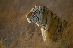 siberische tijger noord china