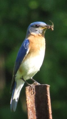 Eastern bluebird on post, with a snack