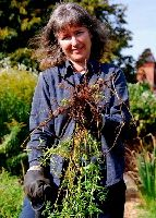 Digging madder dye plant roots - natural dyes