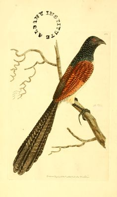 v 1 (1814) - The zoological miscellany : - Biodiversity Heritage Library