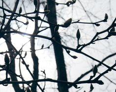 Magnolia buds - The Trees of Fort Greene Park - Nalata Nalata