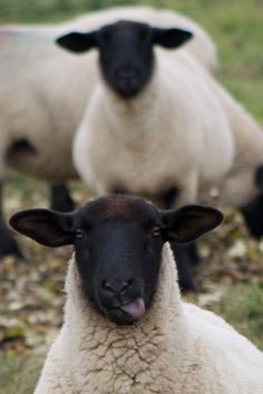 Sassy sheep photobomb