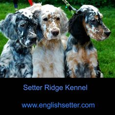 Animal Pictures, Cute Pictures, English Setter Puppies, Animals And Pets, Cute Animals, Family Dogs, Beautiful Dogs, Mans Best Friend, Dog Life