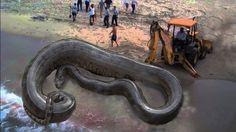 Mysterious Maine Snake is an Anaconda
