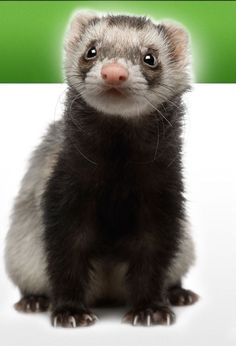 Raw Ferret Food Recipes