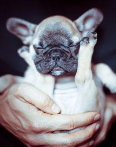French Bulldog Baby ( by Rekanyari ) Bulldog Puppies, Dogs And Puppies, Doggies, Cute Baby Animals, Funny Animals, Funny Dogs, Cute Dogs, Cute Creatures, Little Dogs