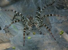 http://www.richard-seaman.com/Insects/Vietnam/Spiders/Highlights/CatTienFunnelWebSpider.jpg