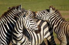 Zebra, Ngorogoro crater Africa Wild Animals, Africa, Afro, Wild Ones