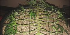 grow p2 mainline How To Grow Marijuana Step 2: Growing And Cultivation