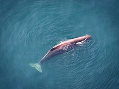 The Bureau of Ocean Energy Management has released a draft environmental impact statement that concludes seismic surveys for oil and gas exploration in the Gulf of Mexico would cause significant harm to marine mammals.