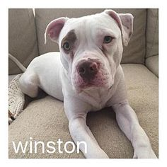 Dallas, TX - American Staffordshire Terrier/American Pit Bull Terrier Mix. Meet Winston, a dog for adoption. http://www.adoptapet.com/pet/16153634-dallas-texas-american-staffordshire-terrier-mix