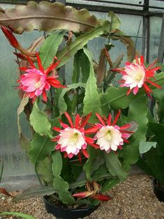 Epiphyllum cv Clown Schusterkaktus – Atlas Cactus Breeding Fauna and Flora are two terms frequently heard by those that spend … Cacti And Succulents, Planting Succulents, Cactus Plants, Planting Flowers, Flowers Garden, Garden Plants, Unusual Flowers, Rare Flowers, Amazing Flowers