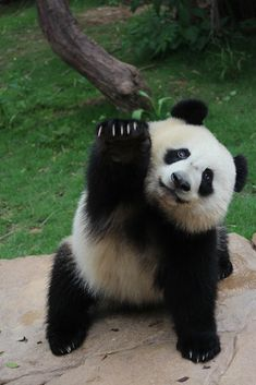 Here are the pictures of cute pandas that will make your day brighter. Enjoy the best collection of cute panda pictures! Pandas Baby, Baby Panda Bears, Panda Babies, Giant Pandas, Niedlicher Panda, Panda Love, Cute Panda Baby, Panda Art, Cute Funny Animals