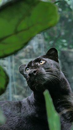 black panther wild cat
