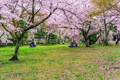 If youre staying in Kyoto or youre travelling between Kanazawa and Kyoto. Take a day trip to Hikone to visit Hikone castle. The castle a national treasure is considered one of the most beautiful castles in Japan.   There are - 1200 cherry blossom trees planted on the castle grounds. They bloom typically a week after the cherry blossoms in Kyoto start blooming and its the perfect spot to go cherry blossom viewing  if youve just missed it in Kyoto.  . .  #kapitein_rosbaard #wanderlust…