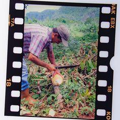 #cuba #karibik #caribbean #vinales #diapositiv #perforation #kodak #coconut #kokos Vinales, Kos, Cuba, Caribbean, Coconut, Memories, Baseball Cards, Souvenirs, Remember This