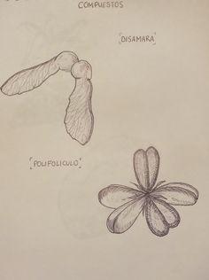 Disámara & Polifolículo