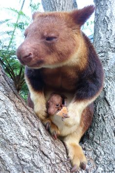 #Sydney`s #Taranga #Zoo have just revealed their first tree kangaroo joey in over 20 years - photo - thrilled keepers have been observing the joey's daily progress, as it emerges each morning at feeding time.