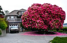 """Year Old Rhododendron """"Tree"""" In Ladysmith, British Columbia, Canada. This huge rhododendron is technically not a tree – most are considered to be shrubs. Flowering Trees, Trees And Shrubs, Trees To Plant, Dream Garden, Home And Garden, Beautiful Flowers, Most Beautiful, Absolutely Stunning, Beautiful Homes"""