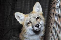 POLL: Should fur farming be banned in the European Union? by Supertrooper http://focusingonwildlife.com/news/poll-should-fur-farming-be-banned-in-the-european-union/