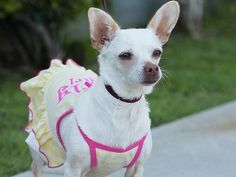 "LOS ANGELES. SENIOR ALERT. ""Hello, please help me, my name is Ari, I am a 6 year old senior looking for a good home to retire."" <3 #seniordog #LA #shelterdog #shelter #dog #adoptdontshop #adoptabledog #senior #USA #adopt #savelife #rescue #LosAngeles #dogs #DogzPrinted #chihuahua #mix"