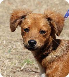 Walnut Creek, CA Norwich Terrier/Dandie Dinmont Terrier