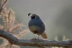 Image result for california quail nz