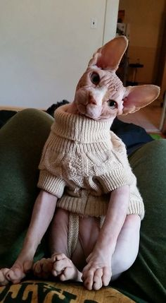 The skin of the Russian Donskoy cat is soft and warm. However, that does not mean they do need protection from too much sunlight exposure... #SphynxCat