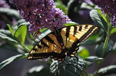 This is a pic of an Oregon Swallowtail Flutterby that I took