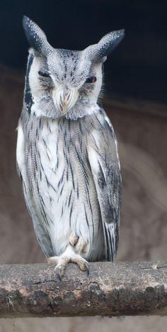 Mocho-de-faces-brancas (Transformer Owl) Confesso que tenho um certo medo das caras desse bicho!