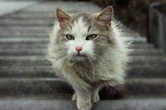 Pet cat, walk, green eyes wallpaper