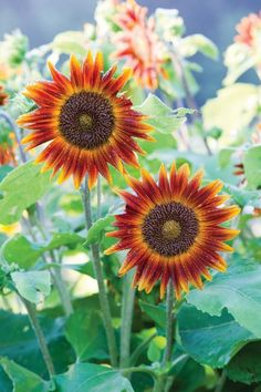 From dwarf types that fit in pots to huge 15-footers, discover sunflowers varieties of all shapes and sizes.