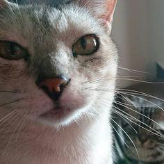 日曜日の朝の風景📷 朝ごはんください。ちょっと私がかなり寝坊したから(^-^;💦 #ねこ#ねこだいすき#ねことの暮らし#にゃんこ#ねこ部#猫#猫バカ#ネコ#neko#nekostagram#meow#cat#cats#catslover#保護猫#保護猫出身#アメショー#アメリカンショートヘアー#お腹すいた#愛猫