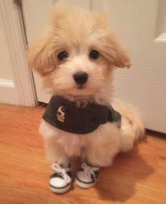 Maltipoo with sneakers on
