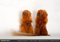 Endangered Golden lion tamarins watching NFL match
