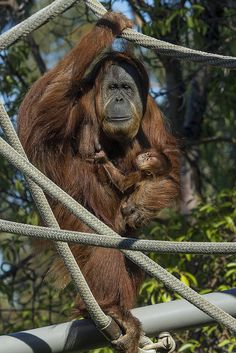 Indah and her new baby girl bring smiles to our faces. #orangutan