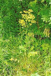 Wild parsnip: The plant that can put you on the hot seat.  © David J. Eagan