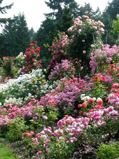 Flower energy at the Portland Rose Gardens, where the widest variety of roses are grown. #rose #garden - Click image to find more hot Pinterest pins
