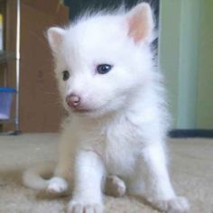 """This Adorable Snow White Baby Fox Will Instantly Melt Your Heart Rylai the """"white marble"""" red fox has become quite the overnight star on social media, but gi. Baby Fox Pet, Baby Red Fox, Wolf Hybrid, Arctic Fox, White Fox, Snow White, Exotic Pets, Cute Baby Animals, Wild Animals"""