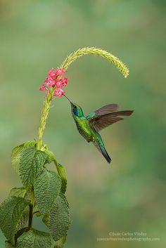 Photograph Green Violetear by Juan Carlos Vindas on 500px
