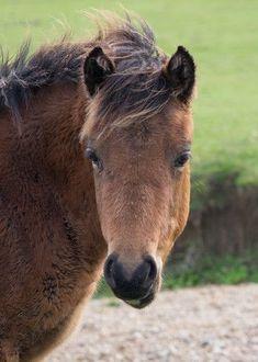 New Forest pony's zijn koudbloedig en in de winter krijgen ze meestal een andere kleur