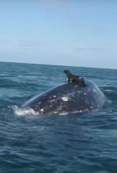 Meanwhile in Australia -- This seal just got a ride from a whale buddy
