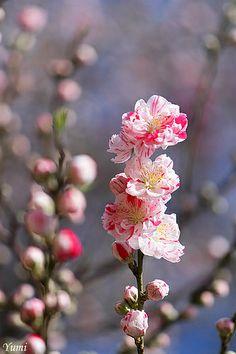 Beautiful Peach Blossom By Yumi