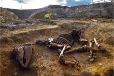 Roman horse skeleton found under hotel site. Skeleton is 2,000 years old. Biomedical Campus in Cambridge.  Skeleton was almost complete