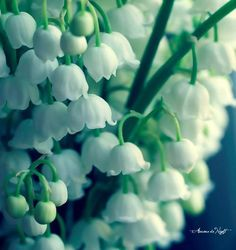 Like the Lily of the Valley  In her honesty and worth,  Ah, she blooms in truth and virtue  In the quiet nooks of earth   Paul Laurence Dunbar (1872-1906)